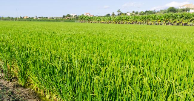 Torna la tassa sul riso importato