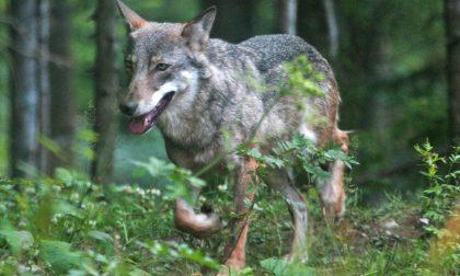 Protezione dai lupi, la Regione apre un bando per gli allevatori