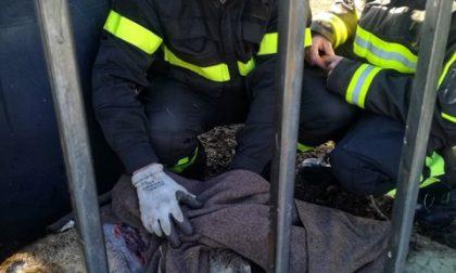 Novi Ligure: capriolo salvato dai vigili del fuoco