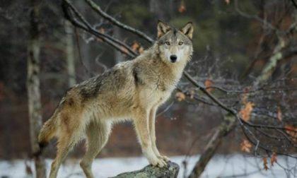 Abbattimento lupi: sì o no? Il Governo si contraddice