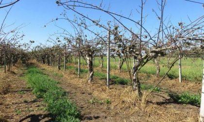 Strage dei Kiwi: dalla Regione 1,8 milioni ai coltivatori