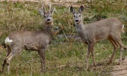 Salvi i due caprioli incastrati in una recinzione privata a Novi Ligure