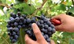 Vendemmia: staccati i primi grappoli anche in provincia di Alessandria