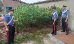 26enne di Pozzolo Formigaro arrestato: in cascina una serra di marijuana | FOTO