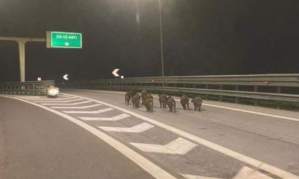 Cinghiali invadono la A21, che rischio! FOTO