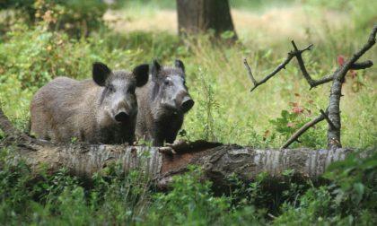Dava da mangiare ad un branco di cinghiali nel bosco, denunciato dai guardiaboschi