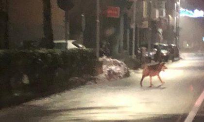 Avvistati lupi per le strade di Ovada? Le immagini che fanno discutere