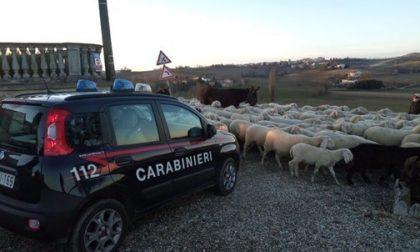 Fa pascolare 2mila pecore sul campo del Comune, 1.300 euro di multa al pastore