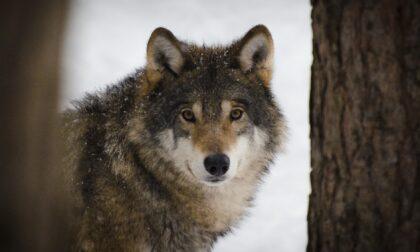 Sull'Appennino alessandrino vivono almeno dieci branchi di lupi