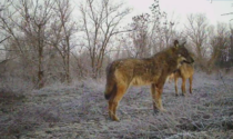 Ad Alessandria i lupi si stanno spostando sempre di più verso la pianura