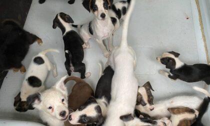 65 poveri cagnolini tenuti in cattive condizioni in una cascina a Bassignana