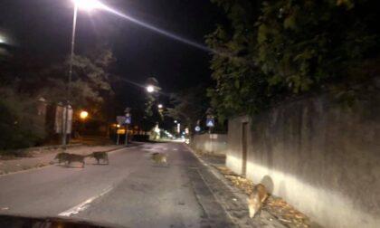 """I cinghiali scorrazzano liberi ad Ovada: """"Erano una ventina"""""""