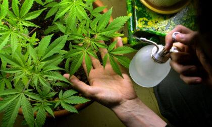 Dalla rapina al supermercato all'arresto per spaccio: in casa nascondevano 200 piante di marijuana